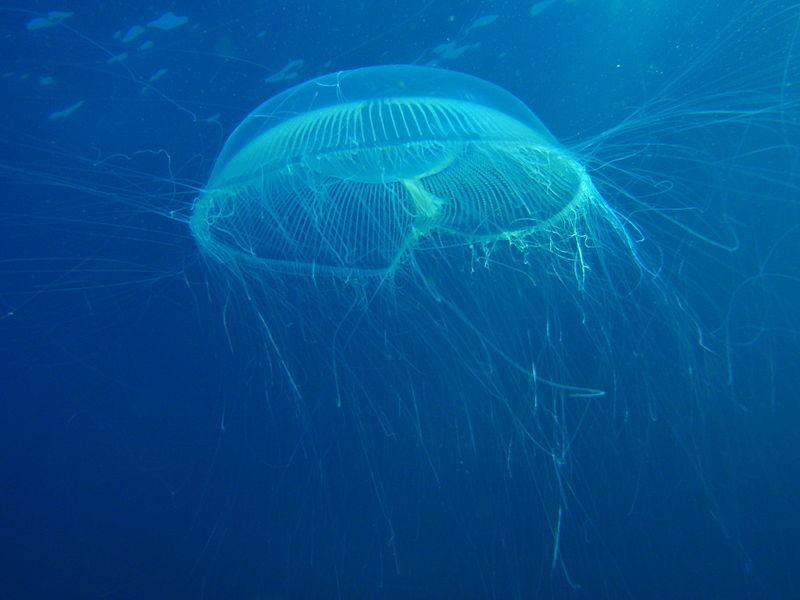 Tasmanian giant jellyfish - photo#23